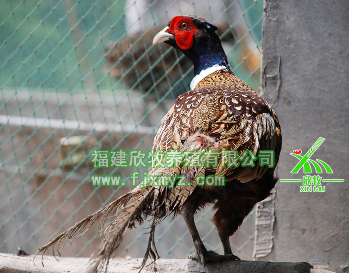 七彩山鸡养图片