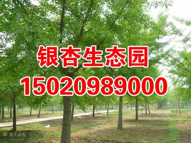 供应2010蓝天银杏