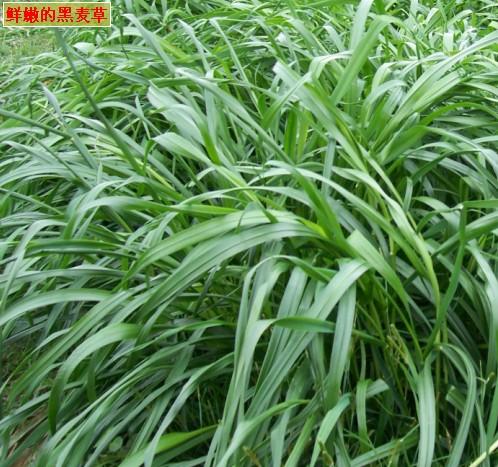 大量供应一年生黑麦草草种图片