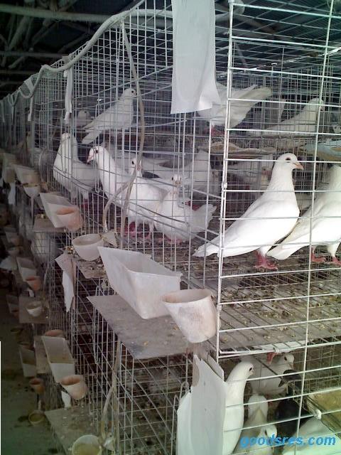 动物 鸽 鸽子 笼 笼子 鸟 鸟类 480_640 竖版 竖屏