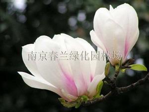 南京春兰绿化园艺场