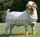 黑头波尔山羊-小羊羔图片