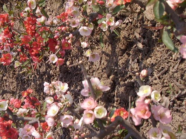 多色木瓜海棠花图片