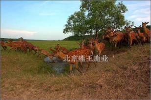 2010年梅花鹿种鹿市场价格图片