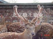 鹿王教你如何养殖梅花鹿图片