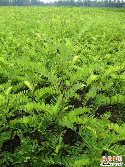 供应紫穗槐麦冬草马尼拉四季青草坪种子是水土保障的安全卫士批发