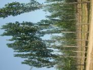 新疆杨树苗图片