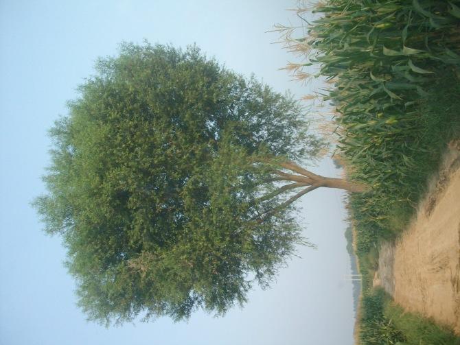 供应馒头柳树苗