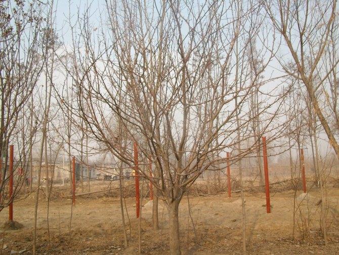 供应海棠树苗图片