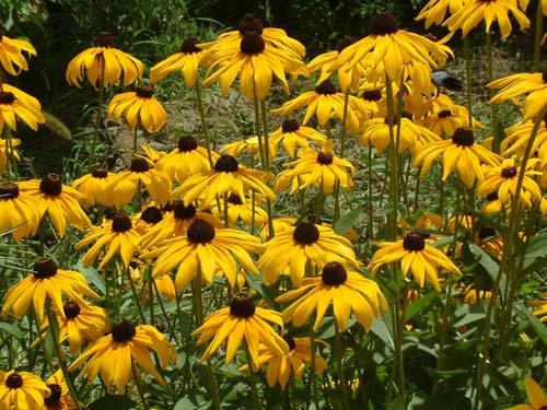 供应黑心菊种子,黑心菊,黑心菊基地,黑心菊种子价格,沭阳黑心菊