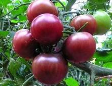 供应小番茄种子黑番茄种子樱桃番茄种子水果番茄种子