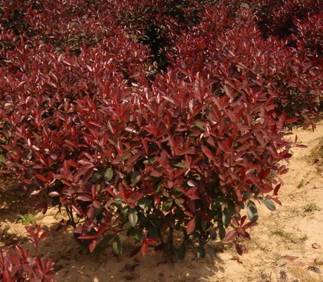 供应多种规格彩叶红叶石楠树苗和价格彩叶红叶石楠价格图片
