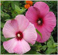 丛生木槿--河北省定州市大型苗木花卉基地批发
