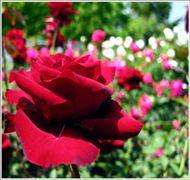 蔷薇--河北省定州市大型苗木花卉基地